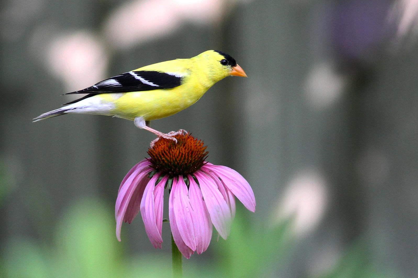 American Goldfinch.