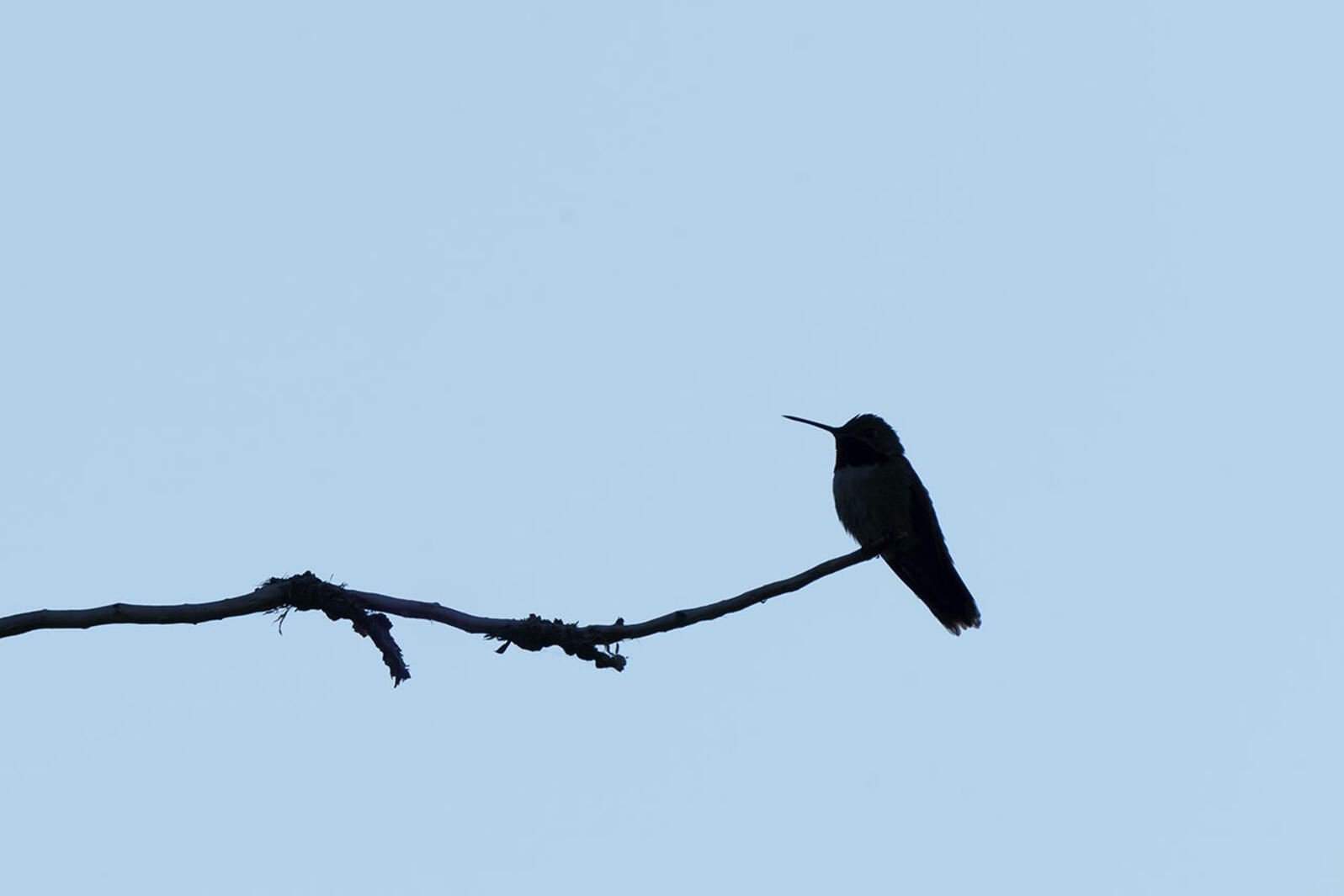 Hummingbird perched on a branch.