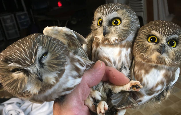 Northern Saw-whet Owl Banding Station
