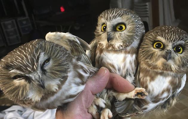 Saw-whet Owl Banding