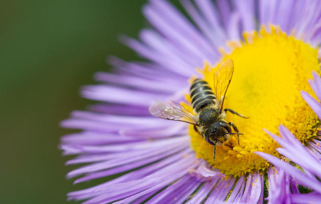 Attract Native Bees With a Habitat Hero Garden
