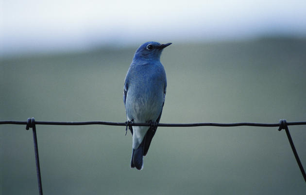 Create Homes So Bluebirds Come Your Way