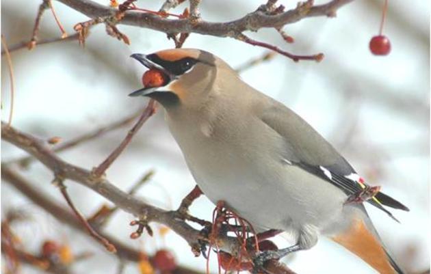 Christmas Bird Counts