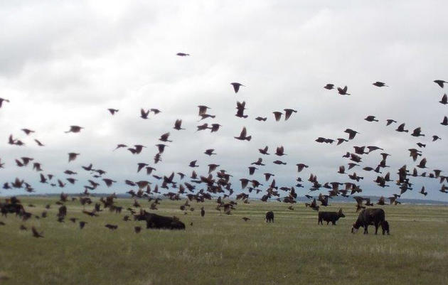 Are You a Retailer Interested in Audubon Certified Beef