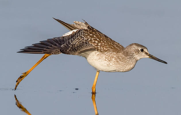 The Coming and Going of Yellowlegs at Great Salt Lake