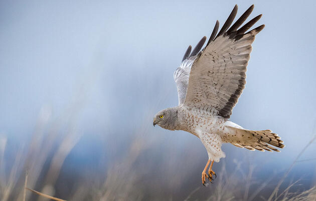 The Harrier and the Owl