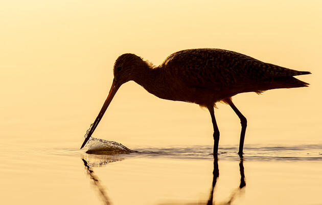 A New Chapter for Shorebirds