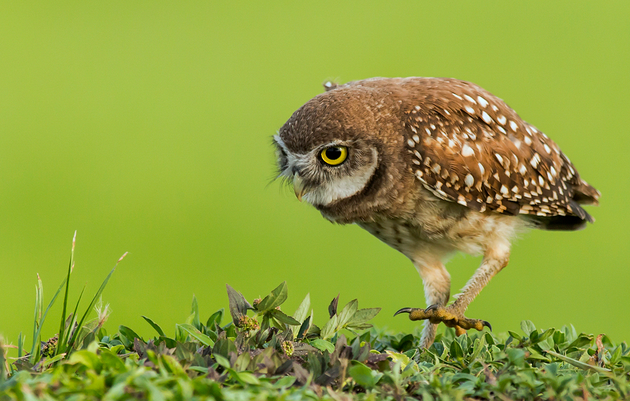 Rockie the Burrowing Owl