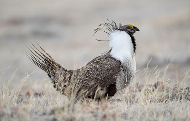 Don't Let Congress Interfere with Sage-Grouse Protections