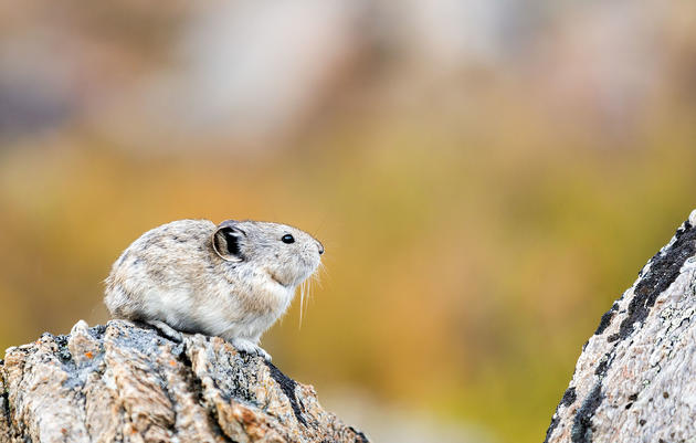 Monitoring the Adorable and Imperiled Pika