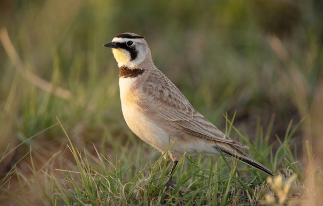 North American Grasslands & Birds Report