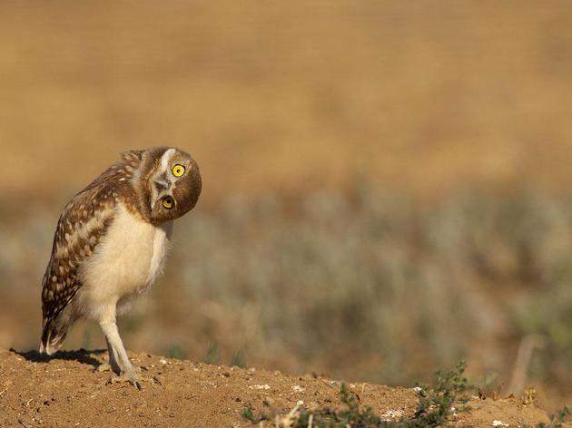 Burrowing Owl Cam