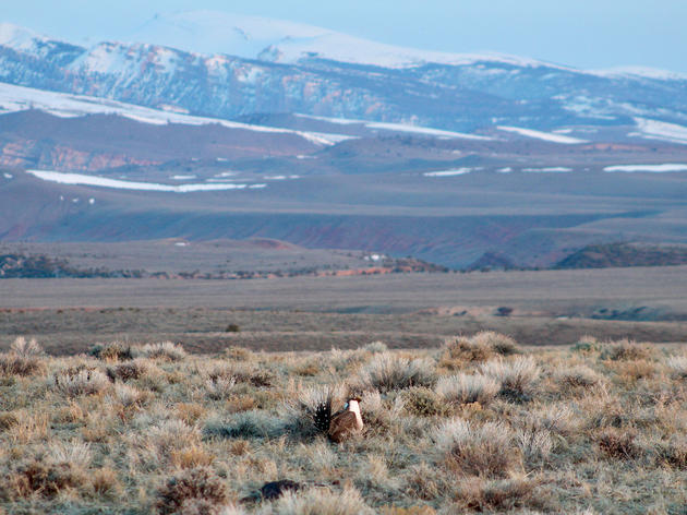 The Greater Sage-Grouse's Most Important Habitat Is on the Auction Block