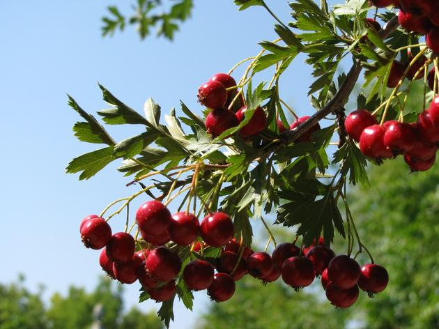 Hungry for a little landscape color? Give thanks for hawthorn