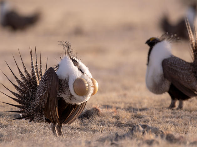 Video: Sage-Grouse Explained by Vox
