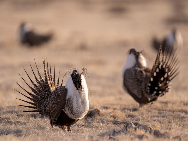 Sage-Grouse Season Is Upon Us