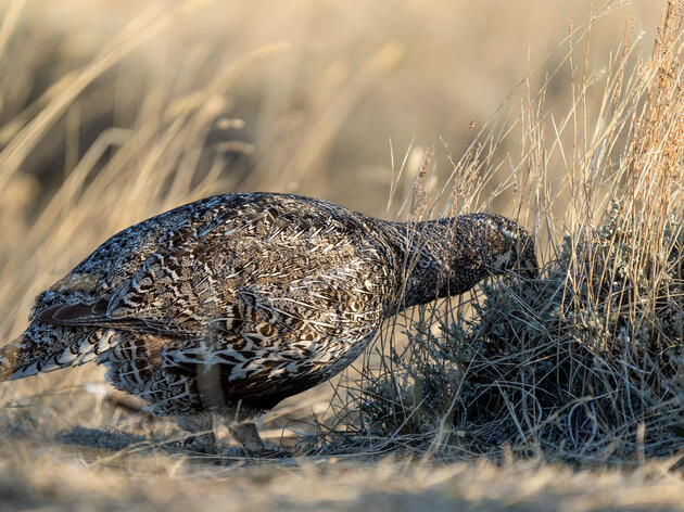 Cutting Trees Gives Sage-Grouse Populations a Boost, Scientists Find