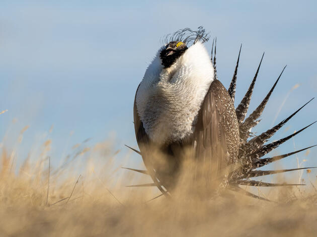 Efforts to Help Greater Sage-Grouse to be Restored by Biden Administration