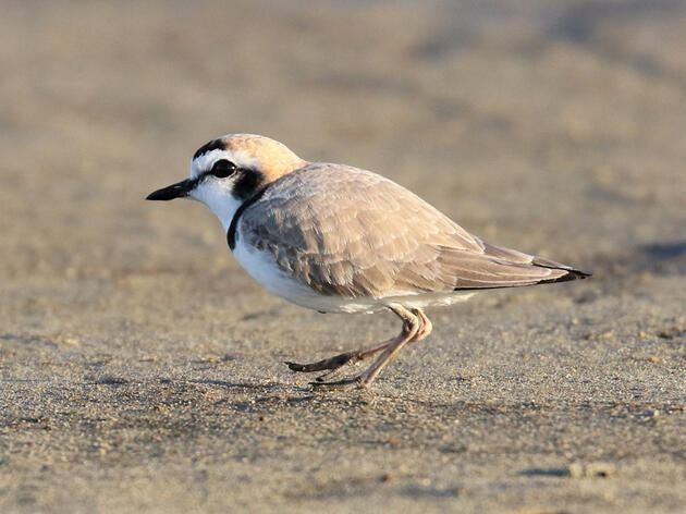 Governor Cox Declares 2021 as Year of the Shorebird at Great Salt Lake