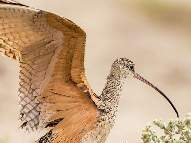 Curlews, Ranching, and Reconsideration