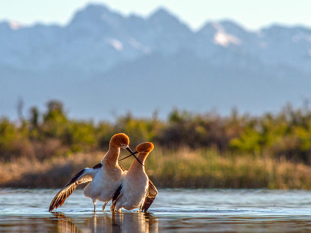 The Art of Photographing American Avocets