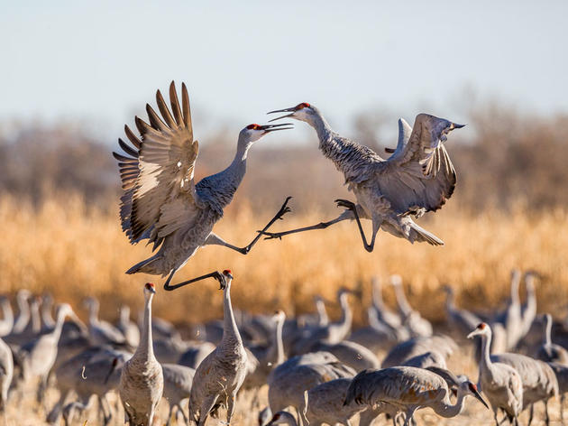 Sandhill Crane Migration & Courtship