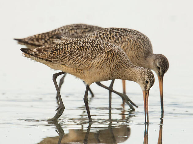 The Marvel and Mystery of Marbled Godwit Migration