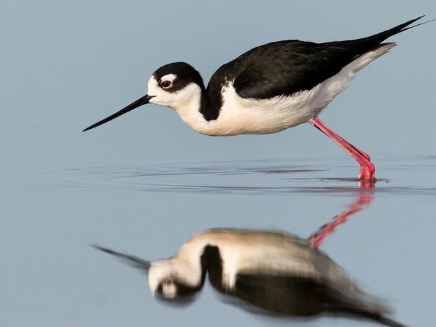 Audubon Guide to North American Birds