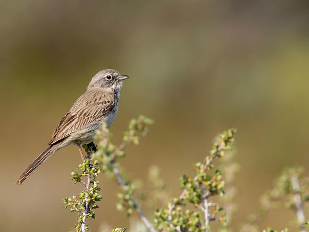 New Audubon Science: Half of Utah's Bird Species at Risk of Extinction Due to Climate Change