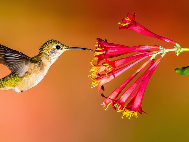 Hummingbirds at home