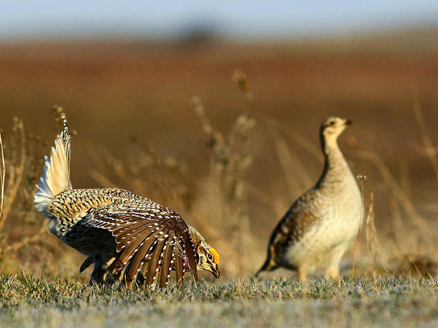 What the Heck Is a Lek? The Quirkiest Mating Party on Earth.