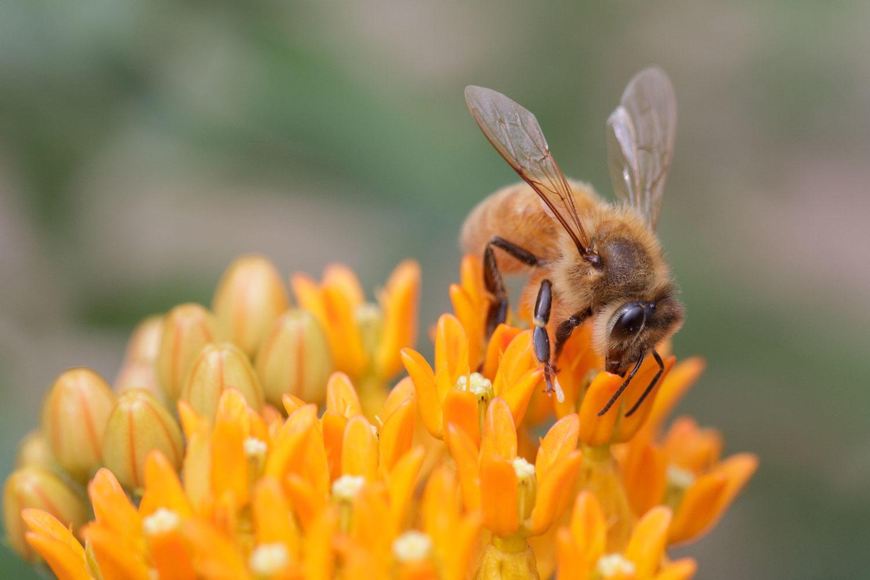 Honey Bee on showy milkweed.