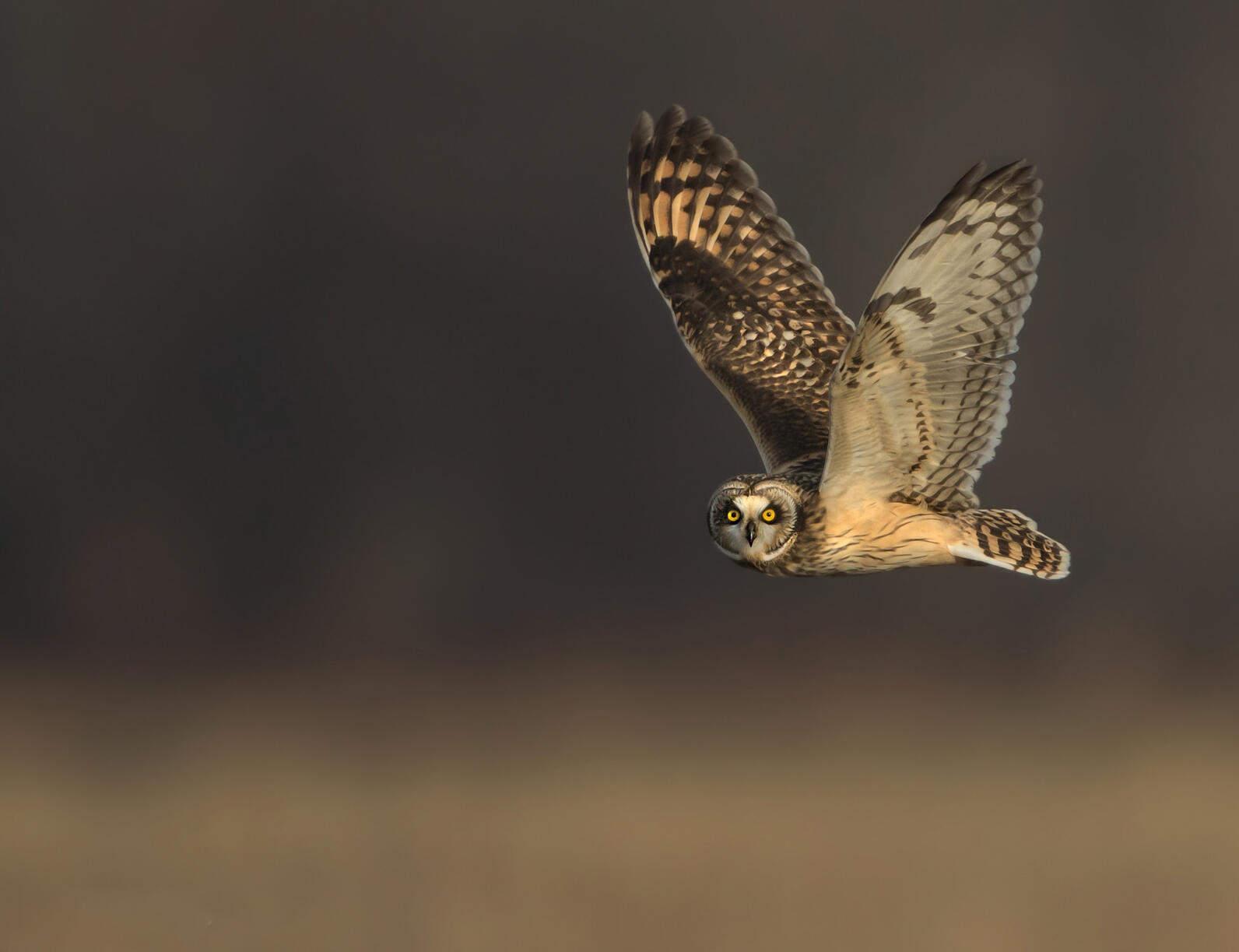 A Short-eared Owl flies close to the ground.