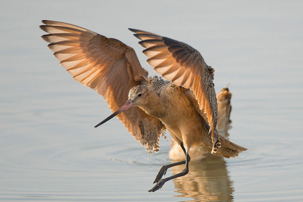 A Marbled Godwit lands in a wetland.