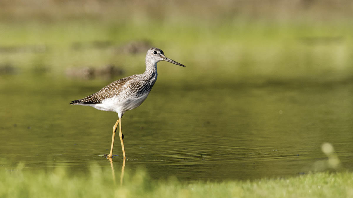 Greater Yellowlegs.