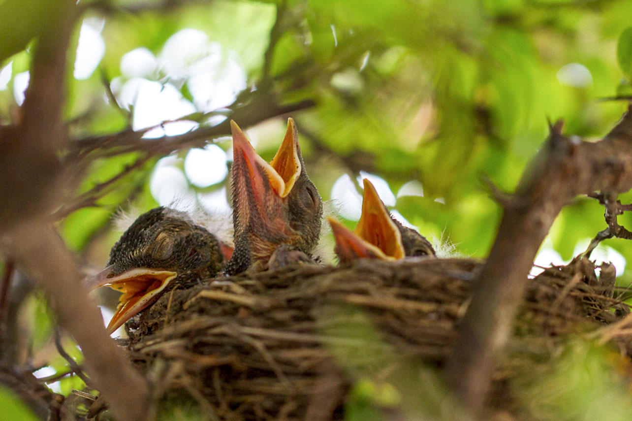 American Robin chicks in a nest.