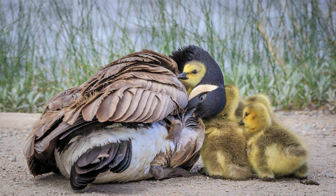 A Canada Goose adult and chicks.