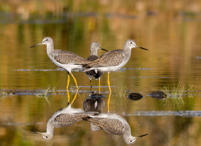 Three Greater Yellowlegs in a wetland.