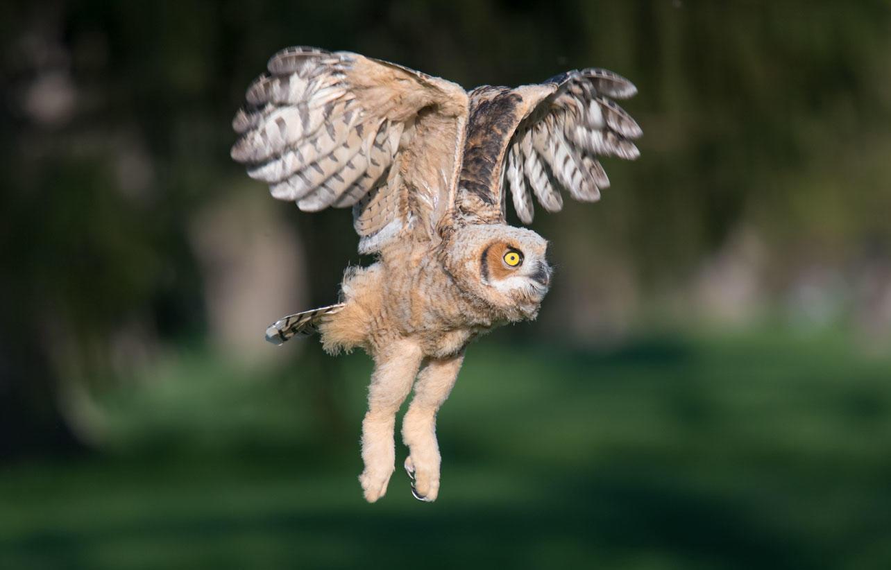 A Great Horned Owl fledgling in flight.