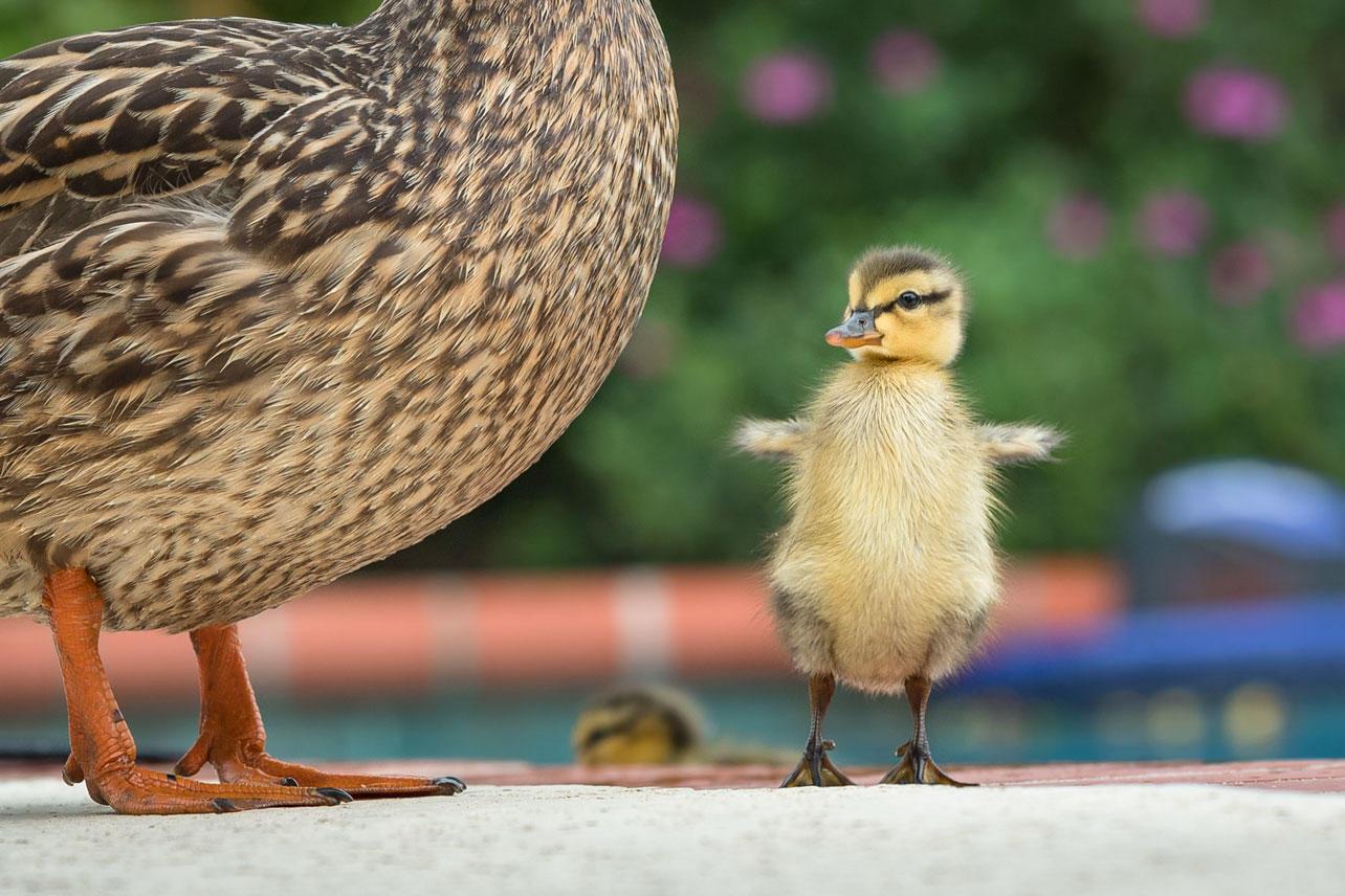 A Mallard duckling flaps its wings.