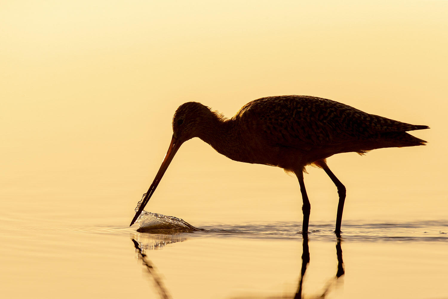 Marbled Godwit forages in a wetland in gold light