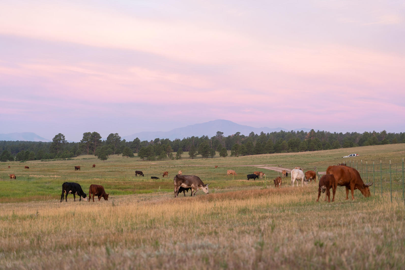 Cattle managed by Corner Post Meats grazing on Audubon's Kiowa Creek Ranch.