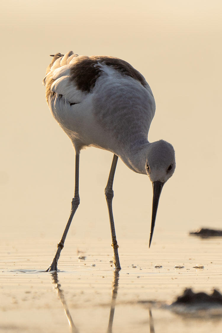 American Avocet forages in a saline wetland.