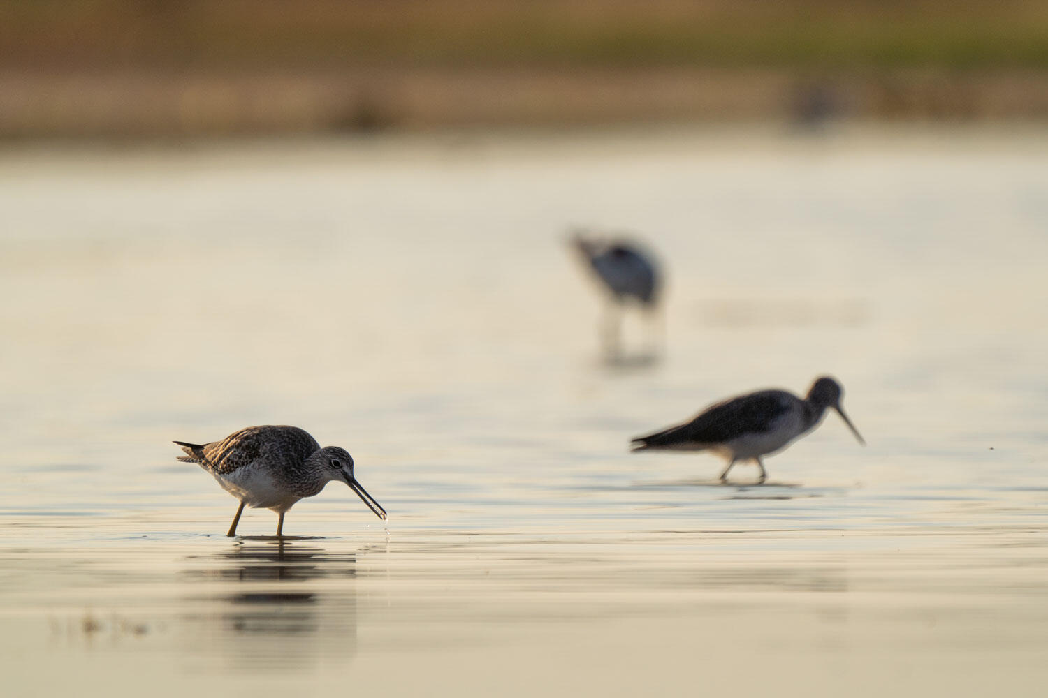 Three Greater Yellowlegs foraging in a wetland.