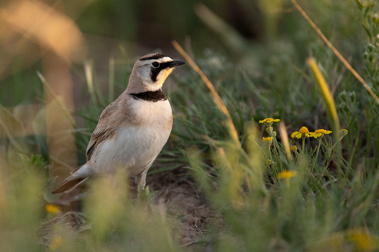 Horned Lark on May Valley Ranch, certified by Audubon's Conservation Ranching Initiative.