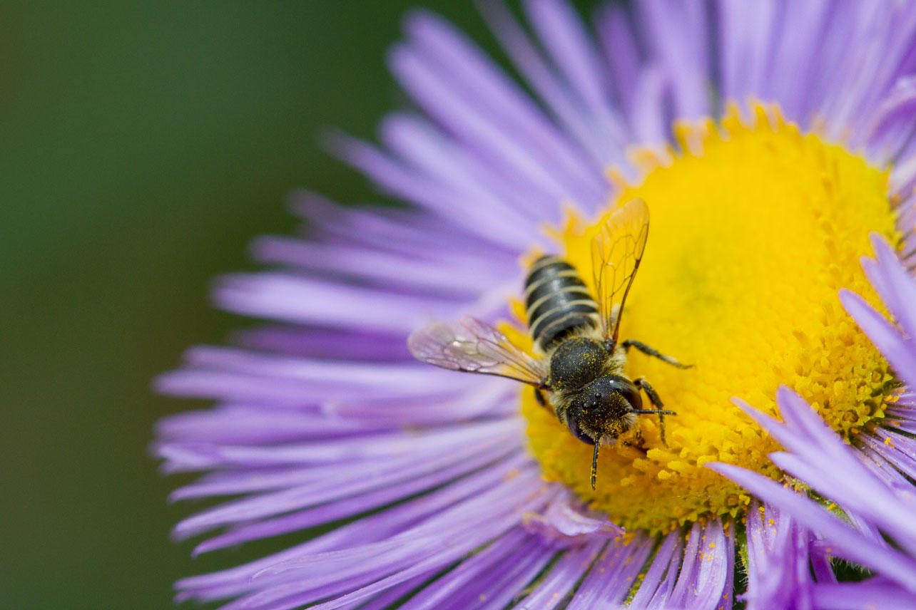 Leafcutter bee on an aster in the Fort Collins Old Town Habitat Hero garden.