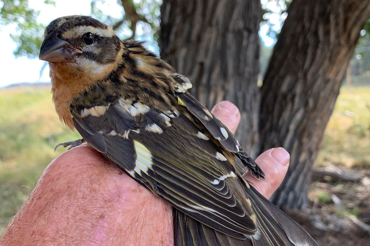 A female Black-headed Grosbeak being held while banded.