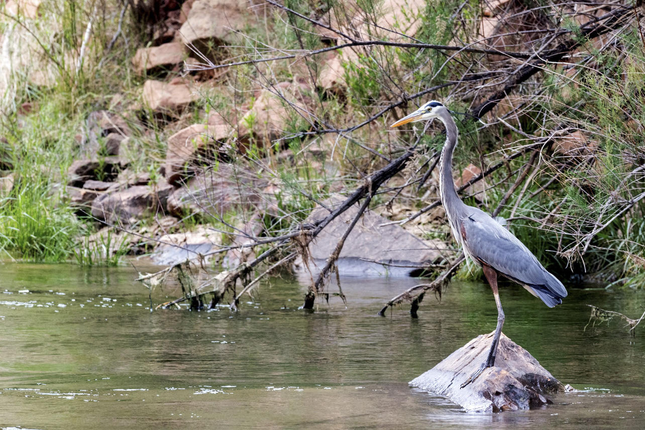 Great Blue Heron Audubon Rockies Western Rivers Initaitive