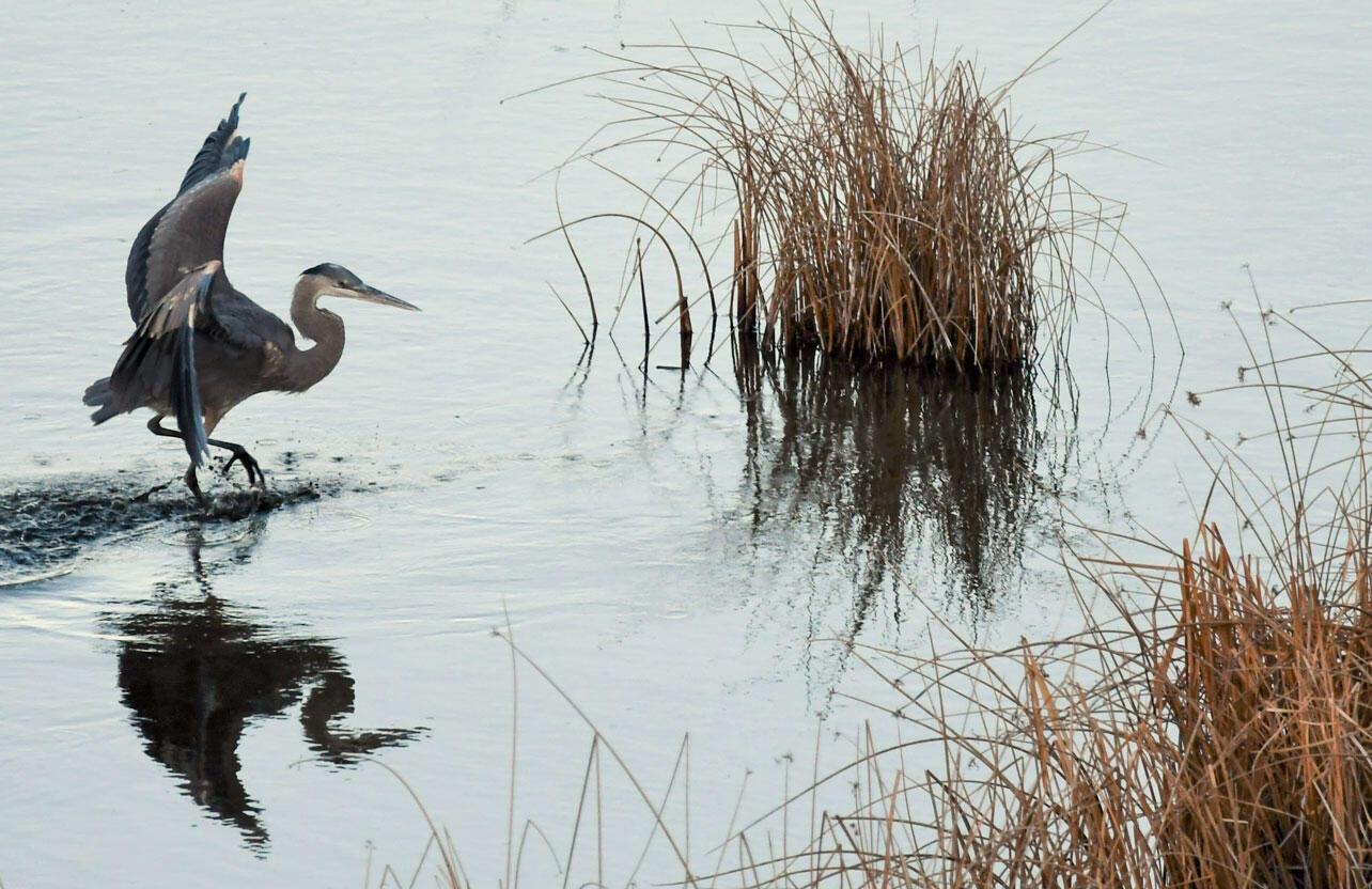 A Great Blue Heron walks in a wetland.