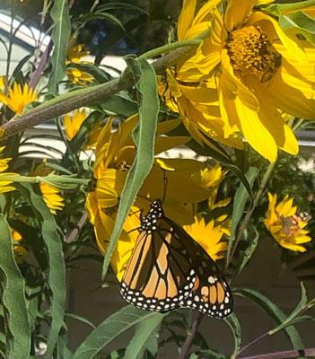 Monach butterfly on Helianthus maximus.